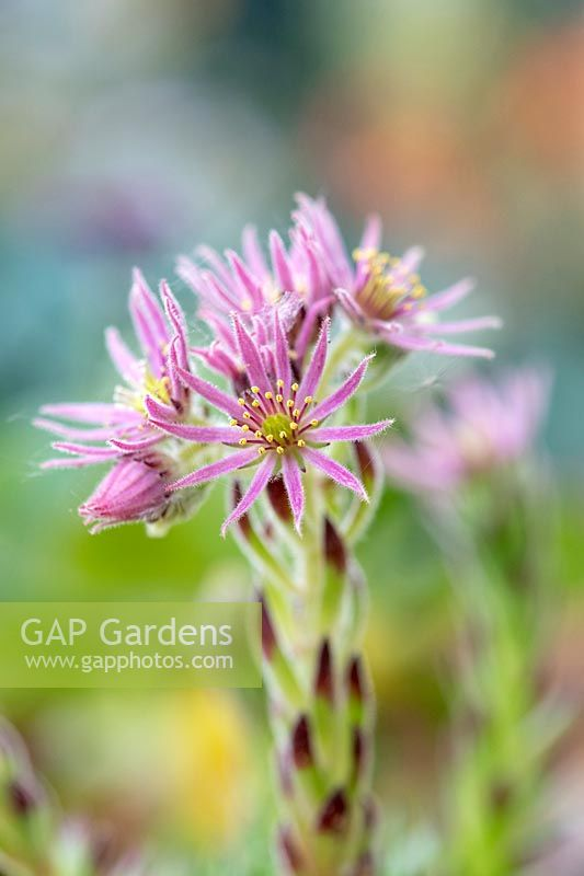 Sempervivum 'Midas' - Houseleek - in flower close up
