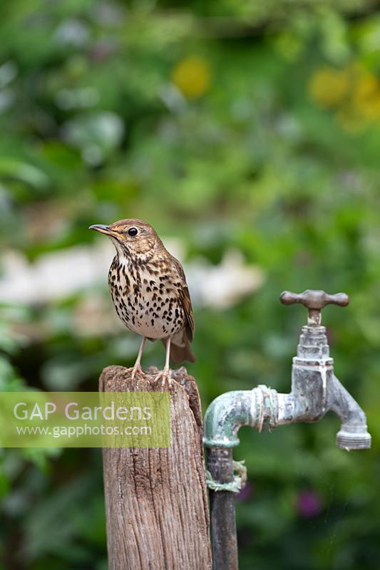 Turdus philomelos - Song Thrush - perched on a post by an old garden tap