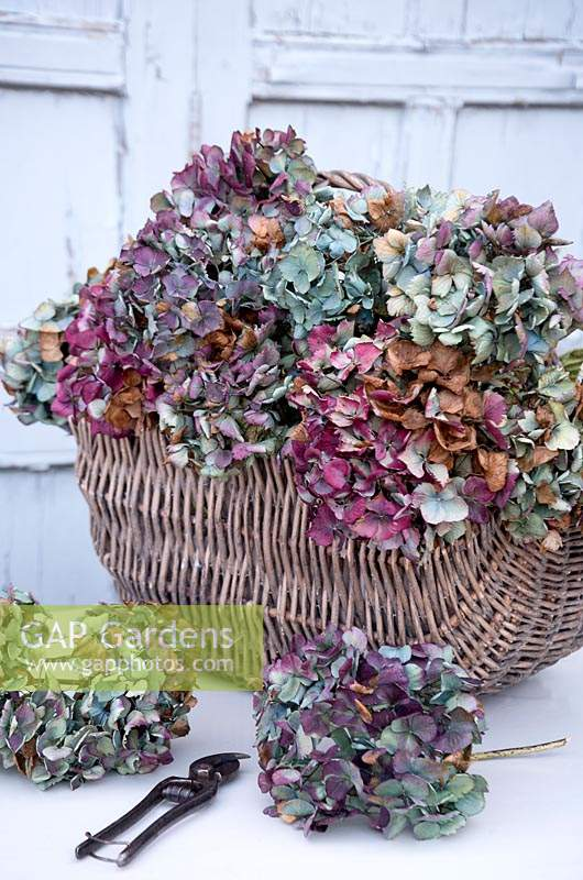 Basket of colourful picked Hydrangea flowers