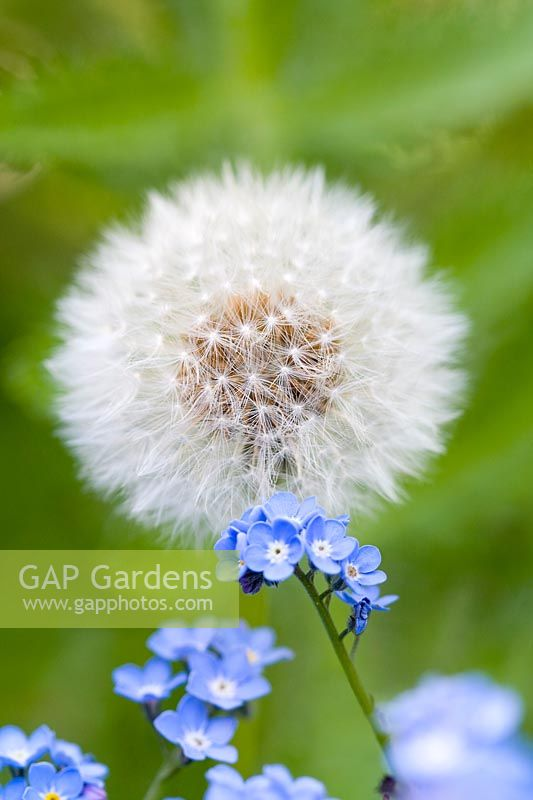 Taraxacum officinalis dandelion seedhead - With forget-me-not