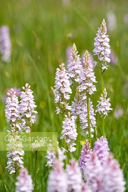 Dactylorhiza maculata - Heath Spotted-orchid