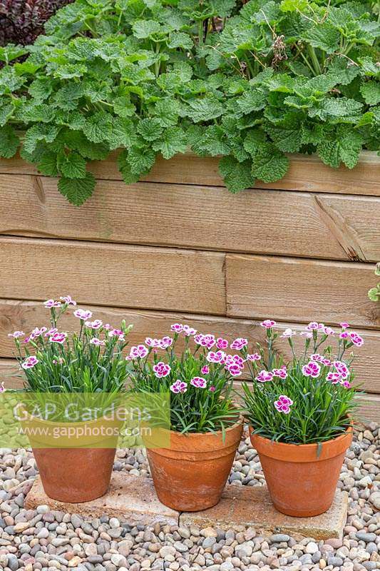 Dianthus - Pinks in three terracotta pots.