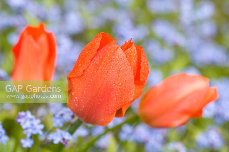 Tulipa - Red tulips with Myosotis - Forget-Me-Not