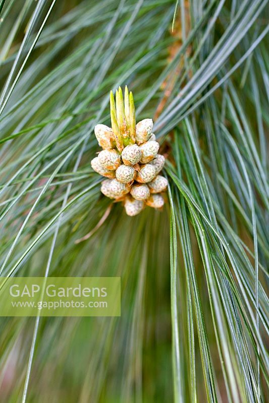 Pinus - Flowers and foliage