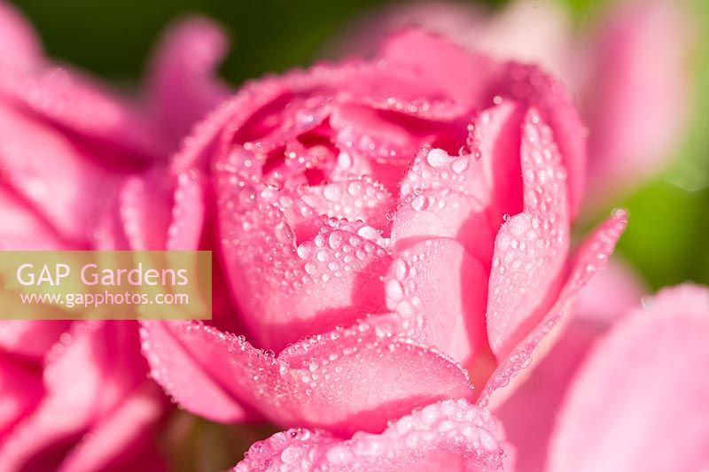 Rosa - Dew on pink miniature Rose flower