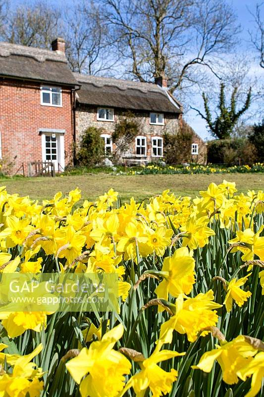 Narcissus - Daffodils in cottage garden, with view to house in background.
