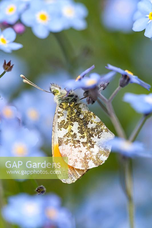 Anthocharis cardamines - Male Orange Tip Butterfly - resting  on Forget-me-not flowers