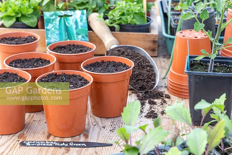 Plastic pots with compost ready to sow Cucumber seeds in Spring.