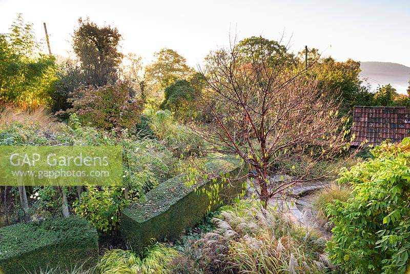 View down onto the garden at Barn House, Chepstow, UK, with Prunus serrula surrounded by grasses including Miscanthus and Hakonechloa macra 'Aureola'.