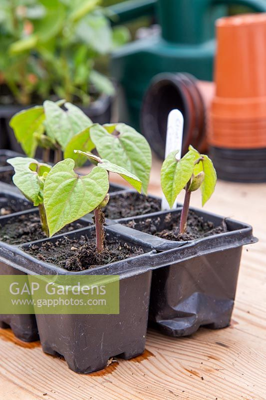 Seedlings of Climbing French Bean 'Cosse Violette'