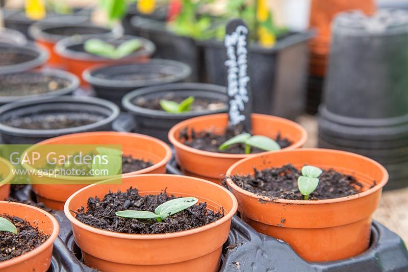 Pots in tray with seedlings of Cucumber 'Burpless Tasty'