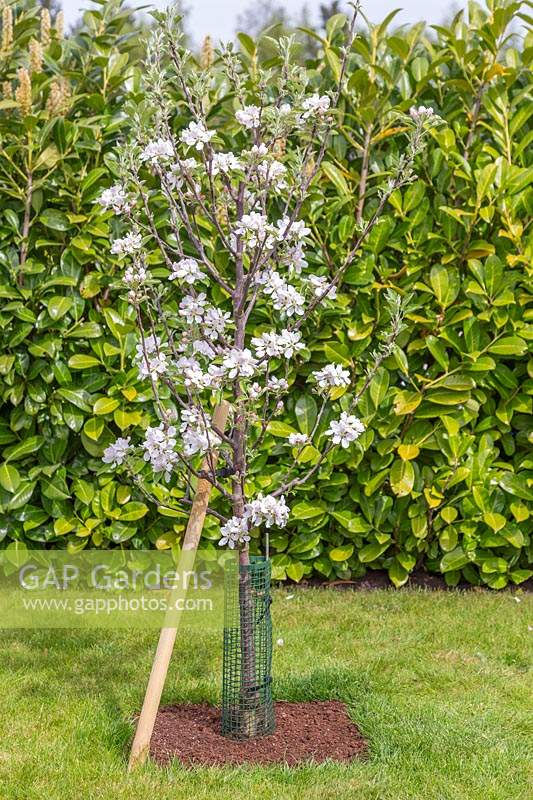 Malus domestica 'Braeburn' - Apple tree mulched, staked and protected with tree guard.