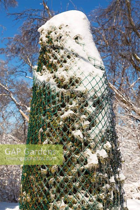 Thuja occidentalis - Cedar tree wrapped with protective green plastic mesh to prevent tree from bending over from heavy ice and snow in winter