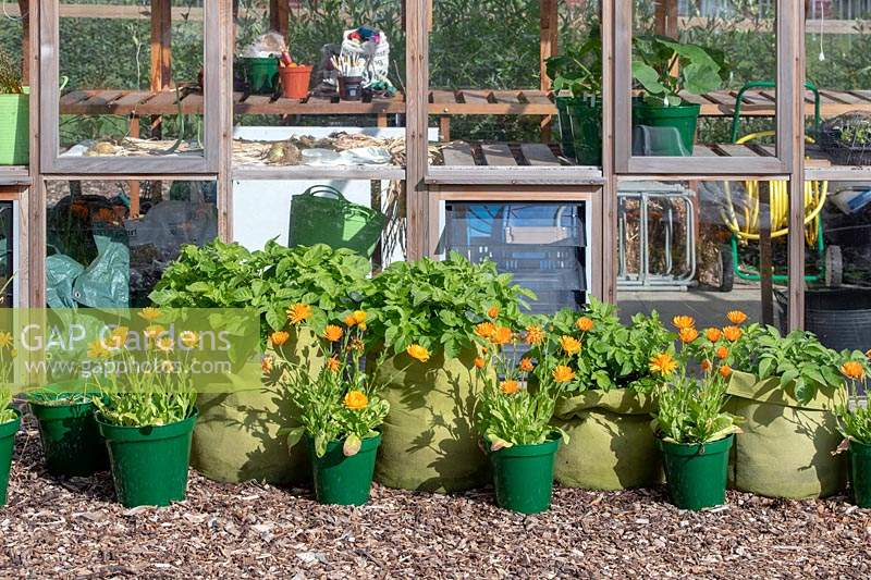 Potato sacks and pots of marigold flowers in front of greenhouse at RHS Wisley, Surrey, UK.