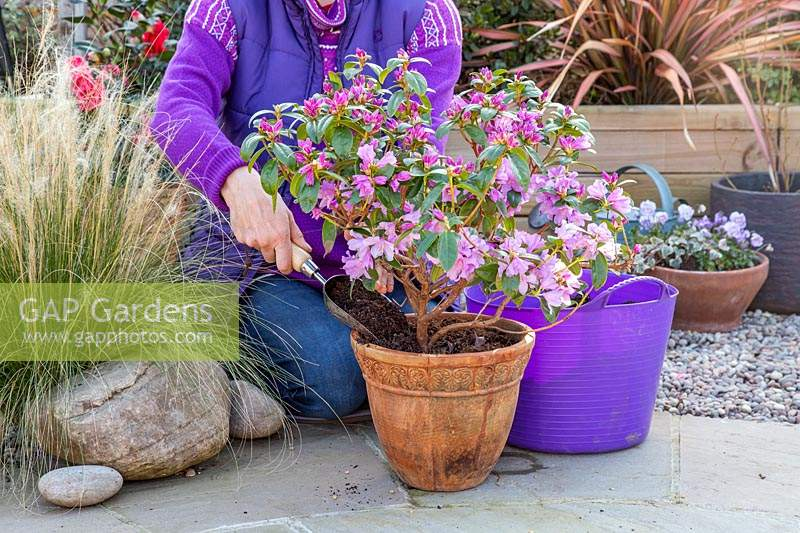 Woman topdressing potted Rhododendron 'Praecox' with fresh compost and sulphate of iron.