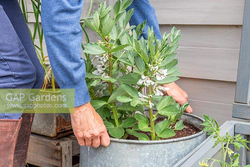 Woman placing the galvanised container with broad beans outside.