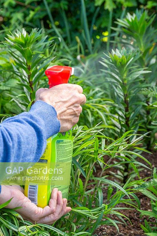 Woman spraying to kill and prevent Lily beetle - Lilioceris lilii