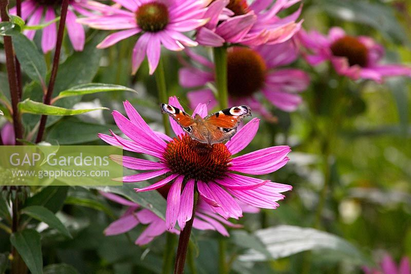 Butterfly on pink echinacea