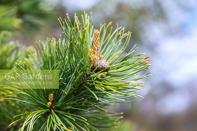 Pinus parviflora 'Goldilocks' - Japanese white pine tree with Red-brown female cone.