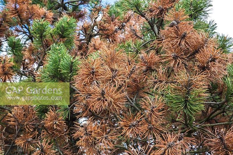 Pinus mugo - Mountain Pine tree with rust disease.