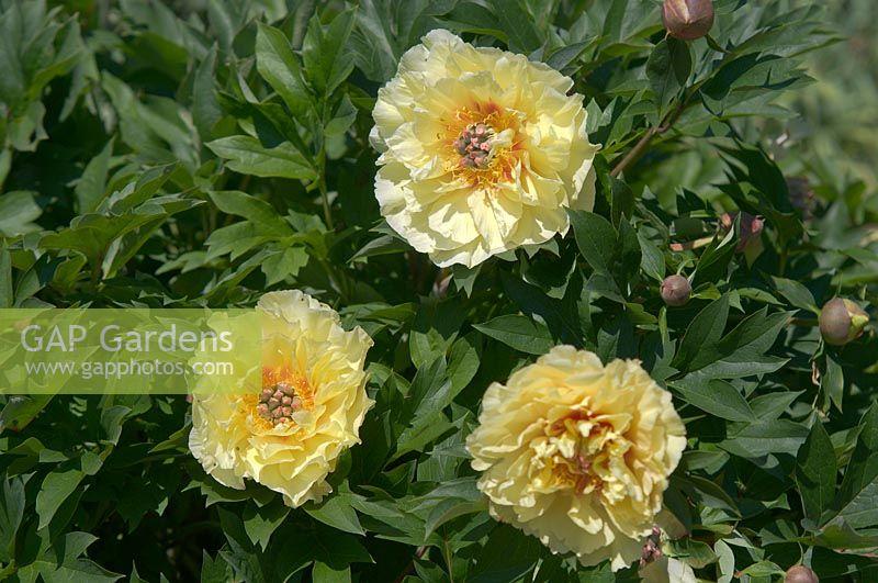 Gap Gardens Paeonia Intersectional Garden Treasure Itoh