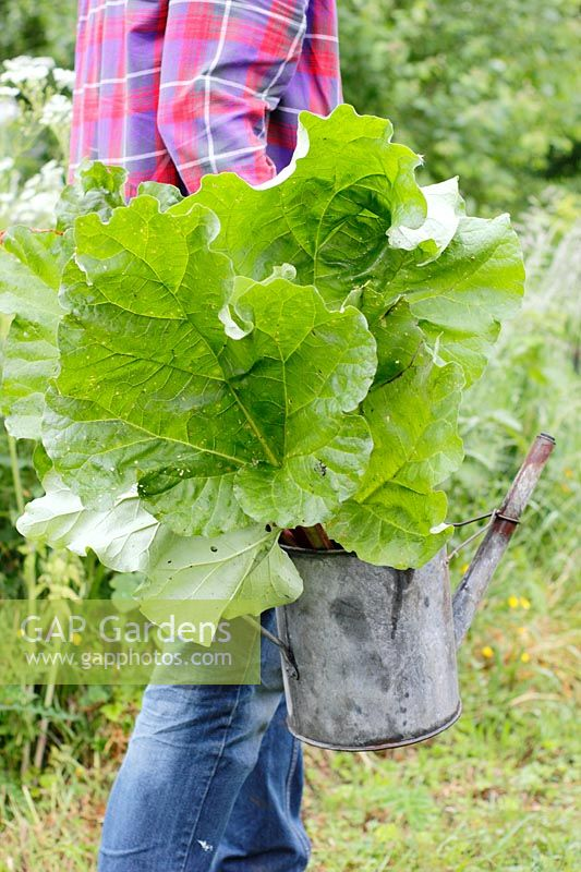 Gardener carrying metal watering can filled with freshly harvested Rheum rhabarbarum - Rhubarb.