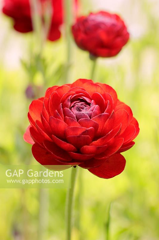 Ranunculus asiaticus 'Tomer Red' – Persian Buttercup