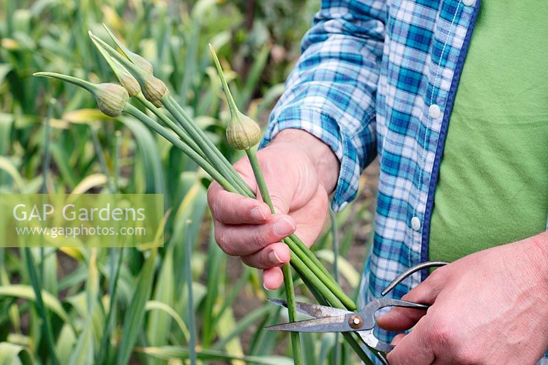 Allium ampeloprasum var. ampeloprasum. Elephant Garlic scapes removed for cooking - June