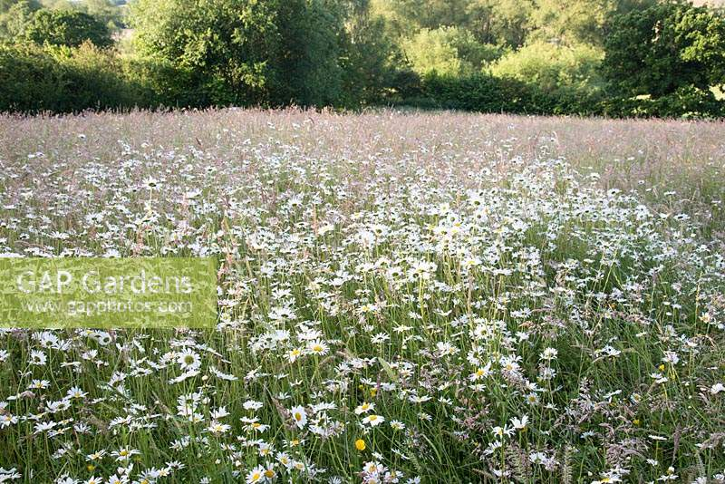 Wildflower meadow: Leucanthemum vulgare - Ox-eye daisy and grasses