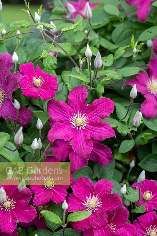 Clematis 'Barbara Harrington' PBR - June