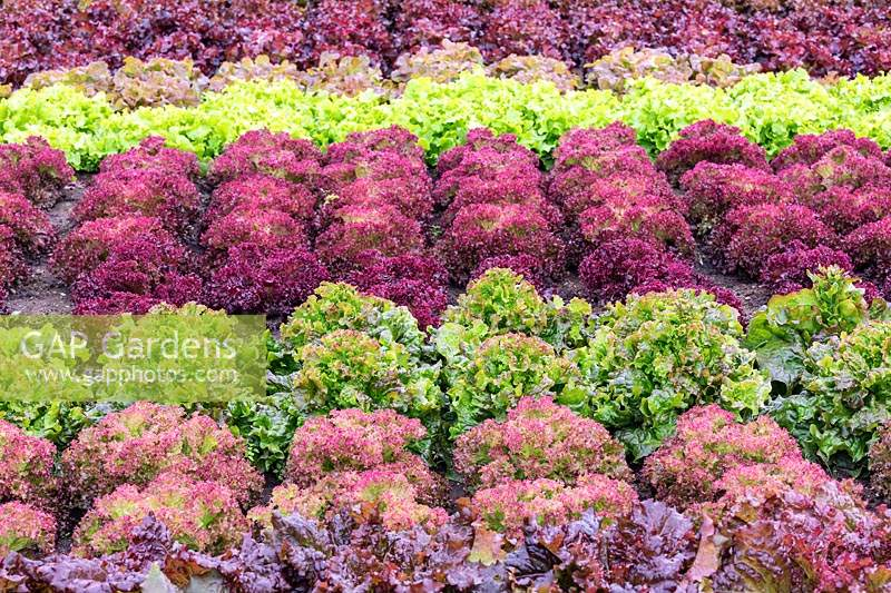 Rows of coloured lettuces