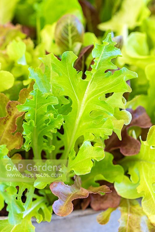 Lettuce Leaf mix growing in a container