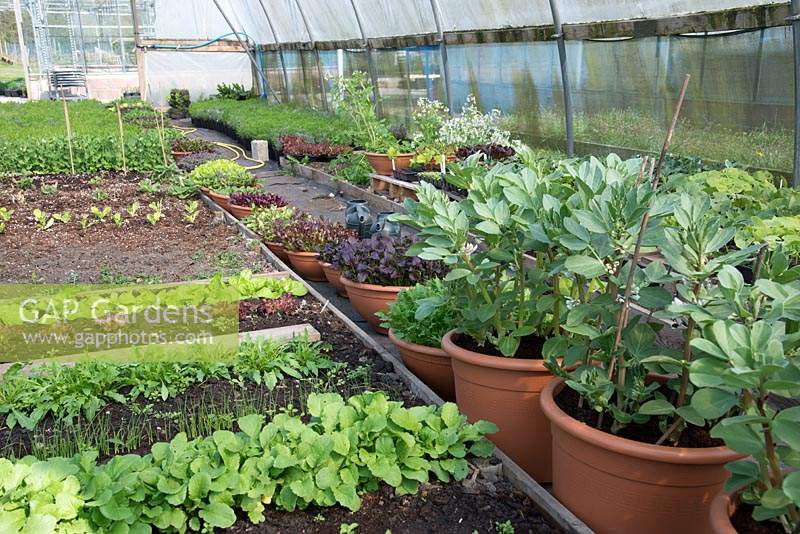 Greenhouse interior with vegetables growing in raised beds and pots including Broad bean 'The Sutton' and Baby Leaf Salad lettuce