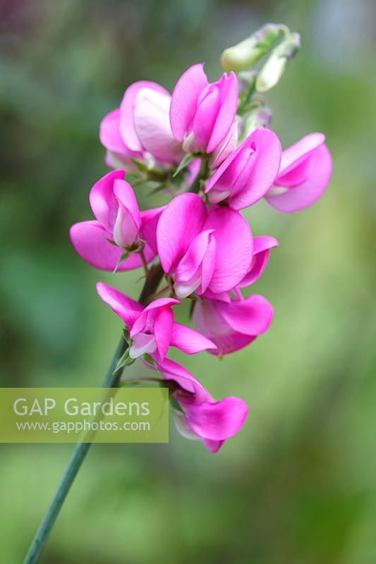 Lathyrus latifolius - Broad-leaved Everlasting Pea