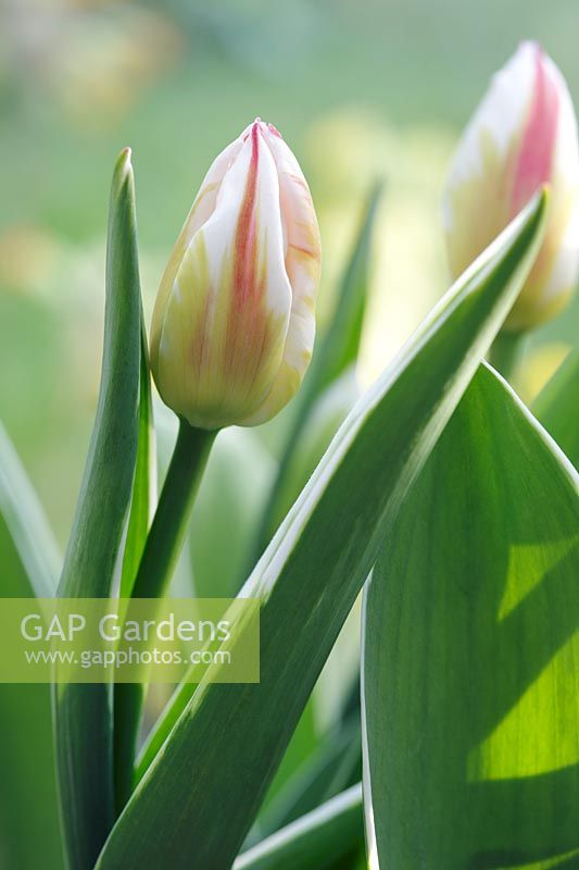 Tulipa 'Happy Generation' - Tulip 'Happy Generation'