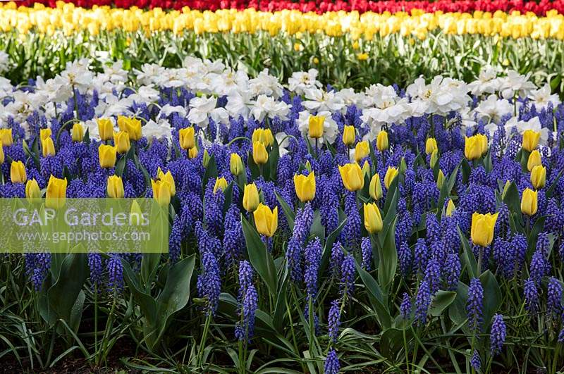 Tulip beds mixed with Muscari,  Keukenhof Amsterdam