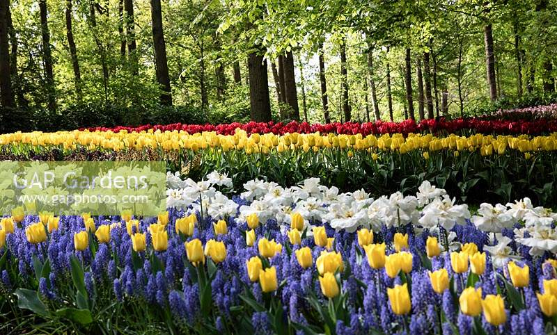 Tulip beds at Keukenhof, Amsterdam, Netherlands.