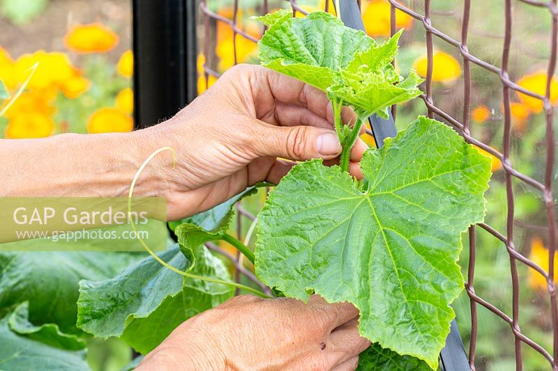 Woman attaching the Cucumber tendrils to the netting to enable the plant to climb.