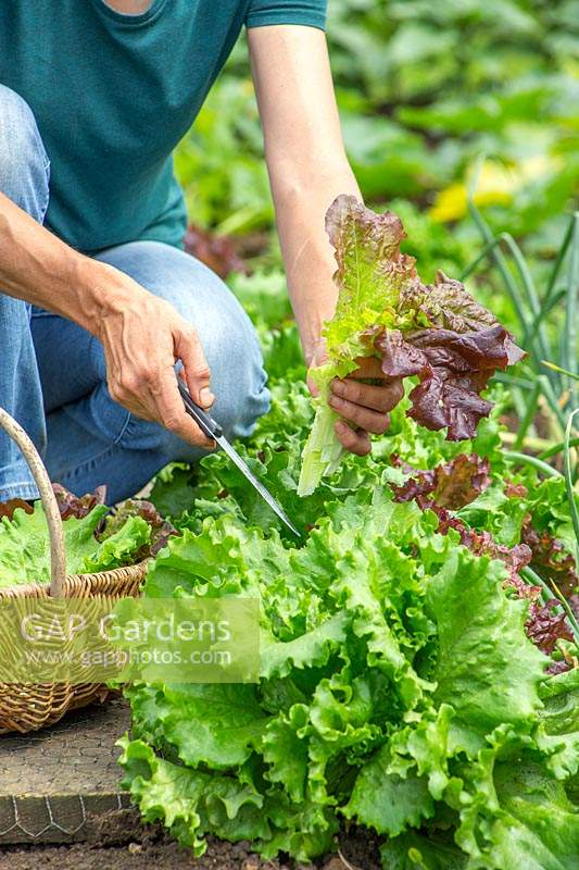 Woman harvesting Lettuce using a knife