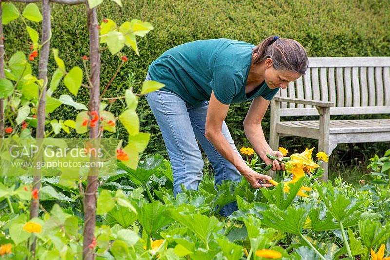 Woman harvesting Courgette Zucchini small with flowers using a knife