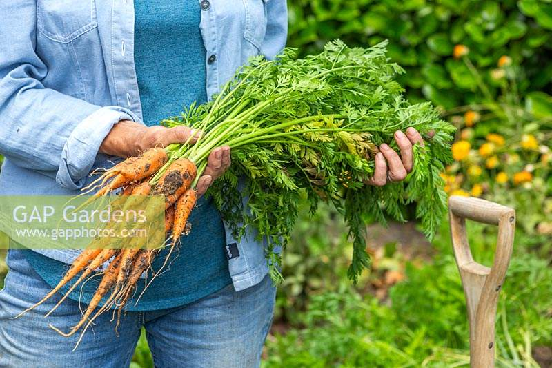 Woman holding bundle of newly harvested Carrot 'Karnavit'