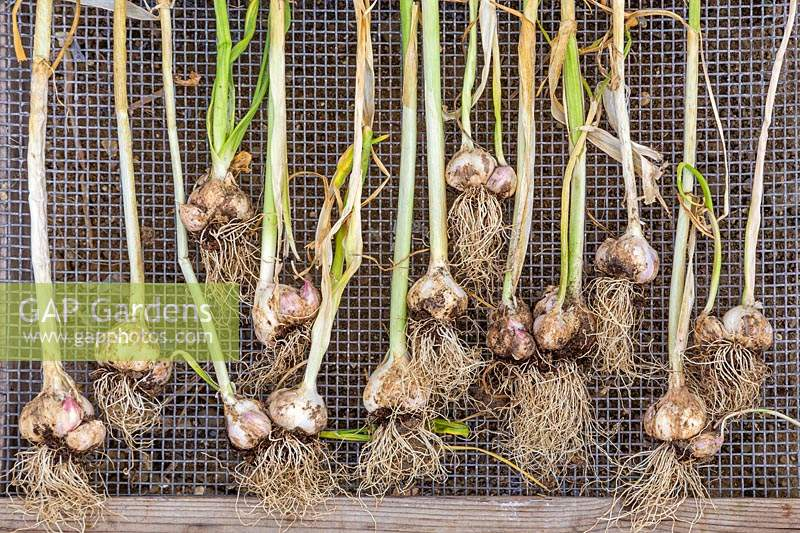 Harvested Garlic 'Arno' laid to dry on wire tray