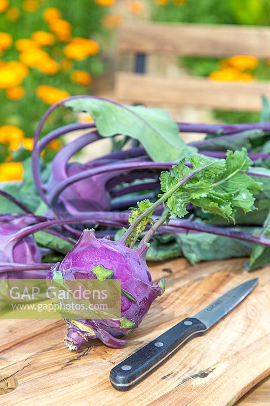 Harvested Kohl rabi 'Purple Delicacy'