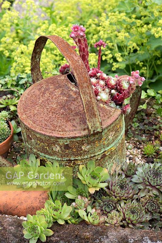 Sempervivums growing in and around rusty old watering can.