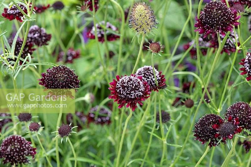 Scabiosa atropurpurea /'Chile Black/' Black Scabious