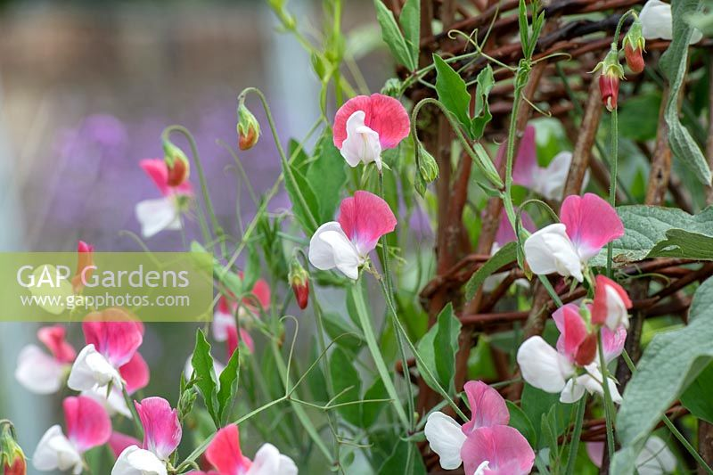 Lathyrus odoratus 'Painted Lady' - Grandiflora Sweet pea 'Painted Lady' on wicker wigwam.
