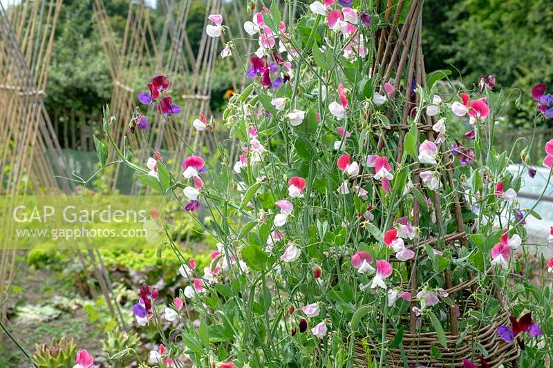 Lathyrus odoratus 'Painted Lady' - Grandiflora Sweet pea 'Painted Lady' on a wicker wigwam support at RHS Garden Rosemoor.