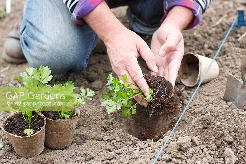 Male gardener planting Apium graveolens var. rapaceum - Celeriac 'Monarch' into hole in soil.