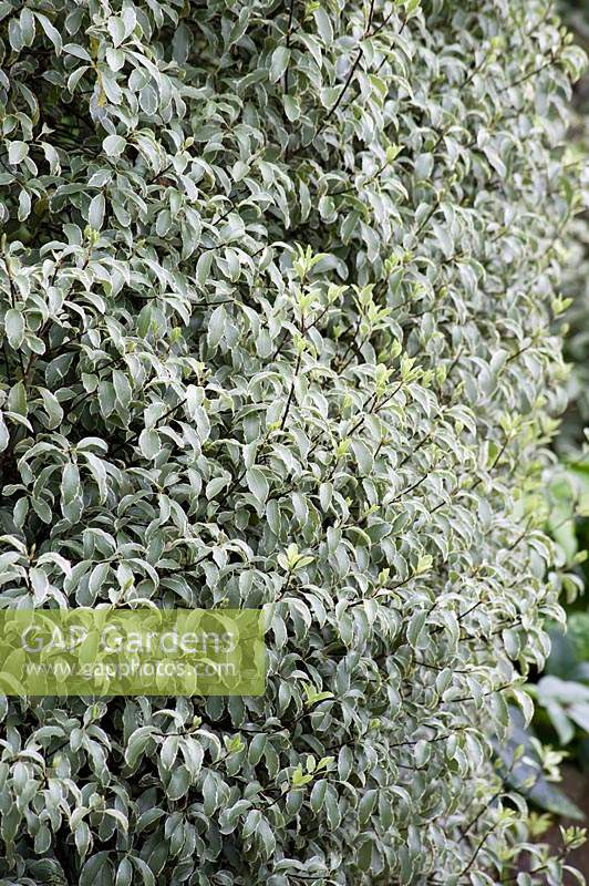 Pittosporum - Unknown variety