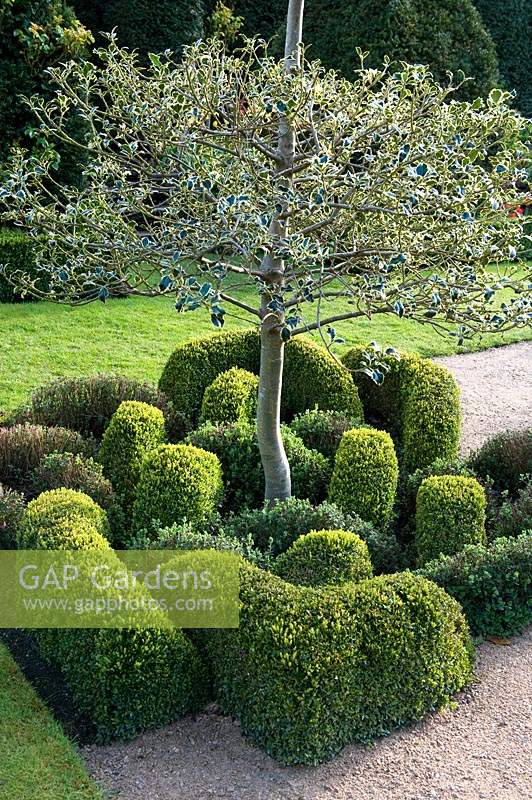 Clipped knot garden, with variegated Ilex - Holly